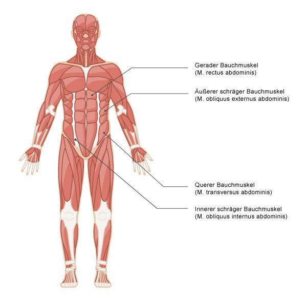 bauchtrainer-infos.de - Illustration Bauchmuskulatur